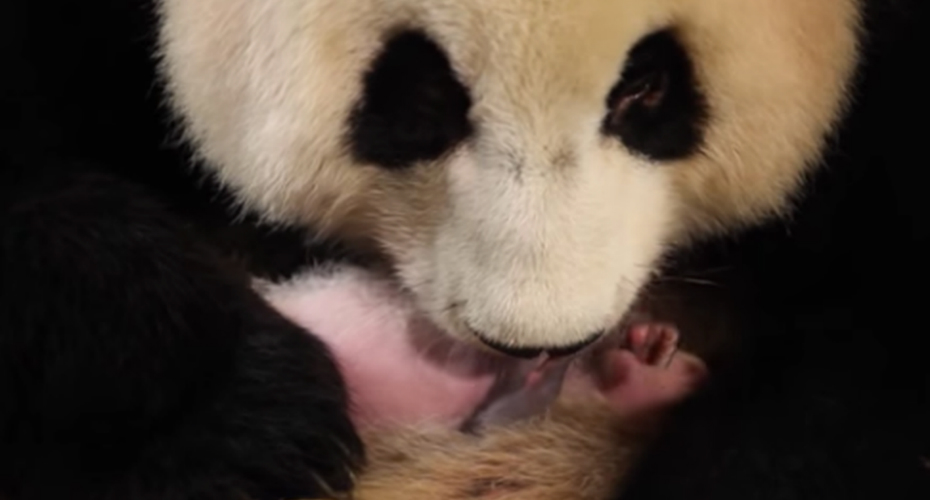 New Panda Mom Doesn't Realize She Had Twins 1