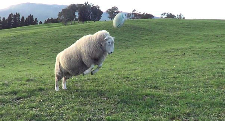 Bruce, The Kiwi Rugby-Playing Sheep, Wows Viewers With His Heading Skills 1
