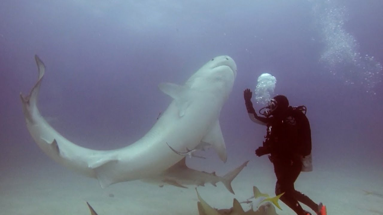 Man Makes Shark Fall Asleep With Hypnosis 5