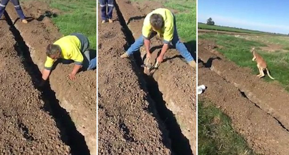 Man Rescuing a Kangaroo From a Narrow Trench 7