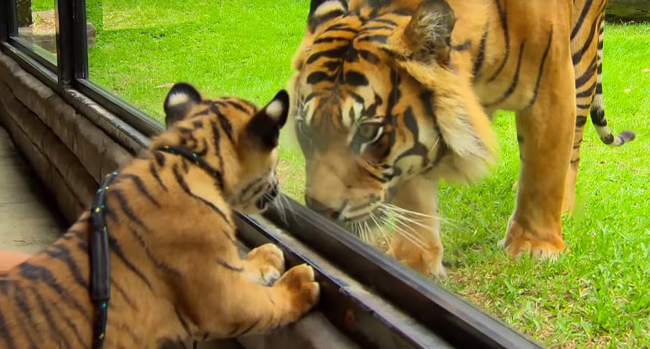 Watch As Two Cubs Meet An Adult Tiger For The First Time 7