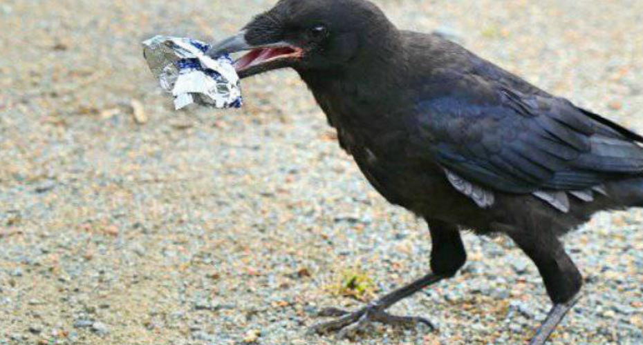 Crows Trained To Pick Up Litter At French Theme Park 7