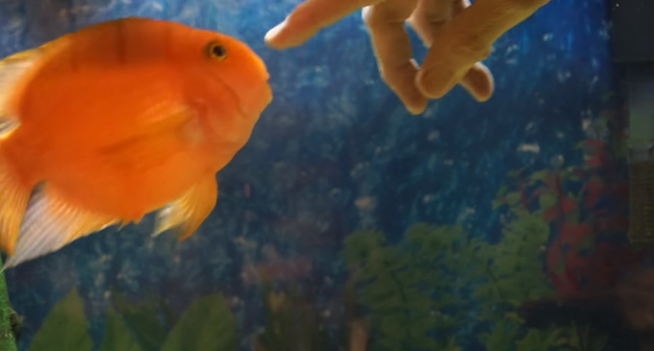 Playful Pet Fish Loves Affection 5