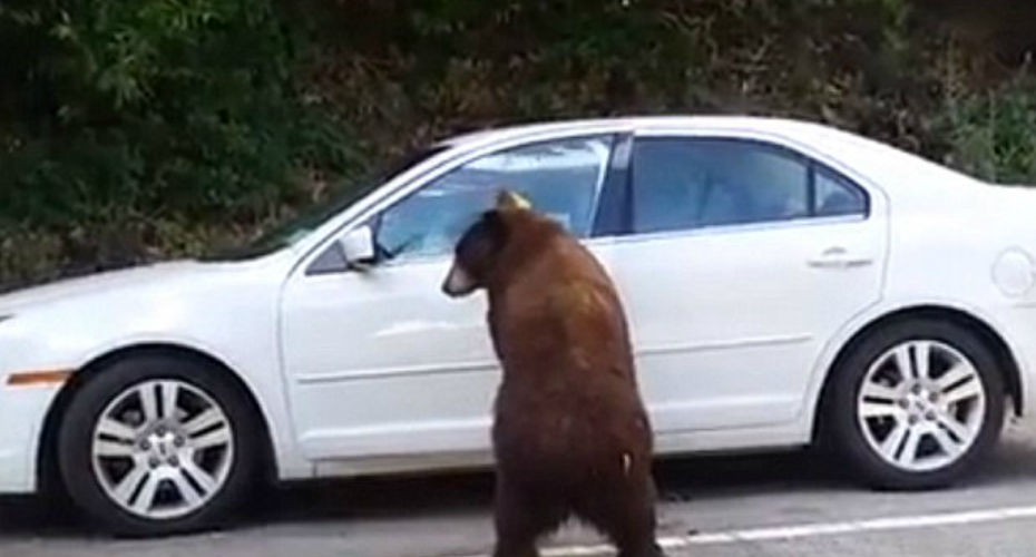 Curious Bear Opens Elderly Couple's Car In California 8