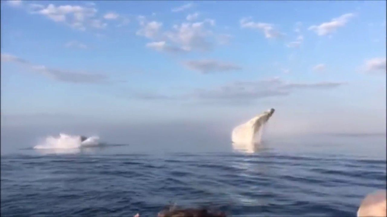 Not One, Not Two, But Three Whales Leap Into The Air In Rare Triple Breach 4
