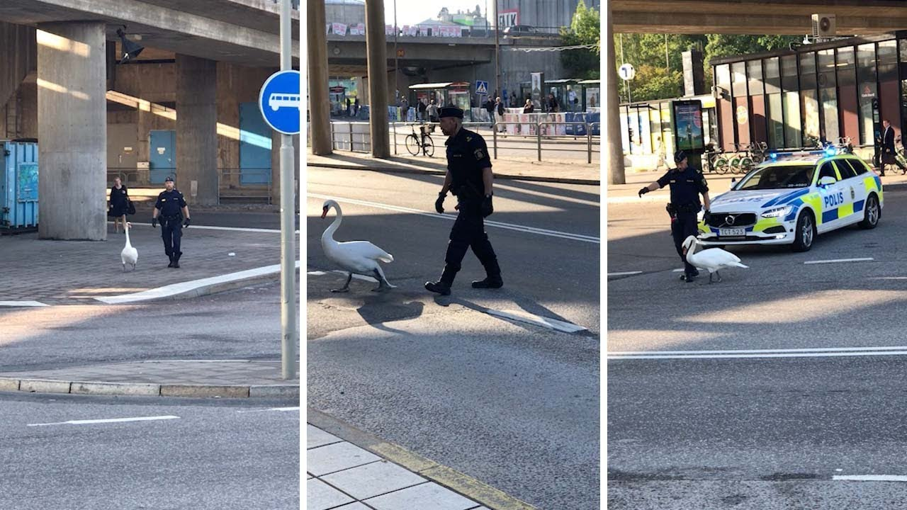 Cops Chase Swan After Bird Stops Rush Hour Traffic 4