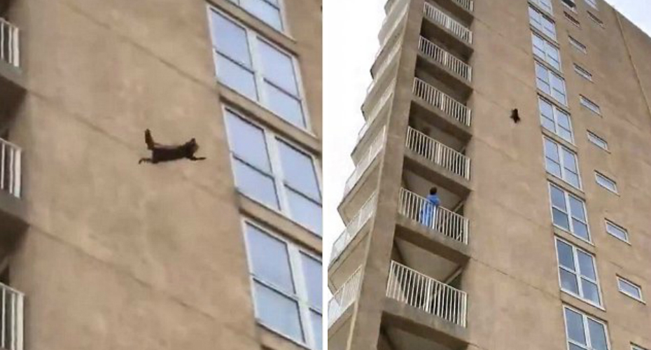 Racoon Jumps Off Side Of Building 9 Stories And Runs Away 2