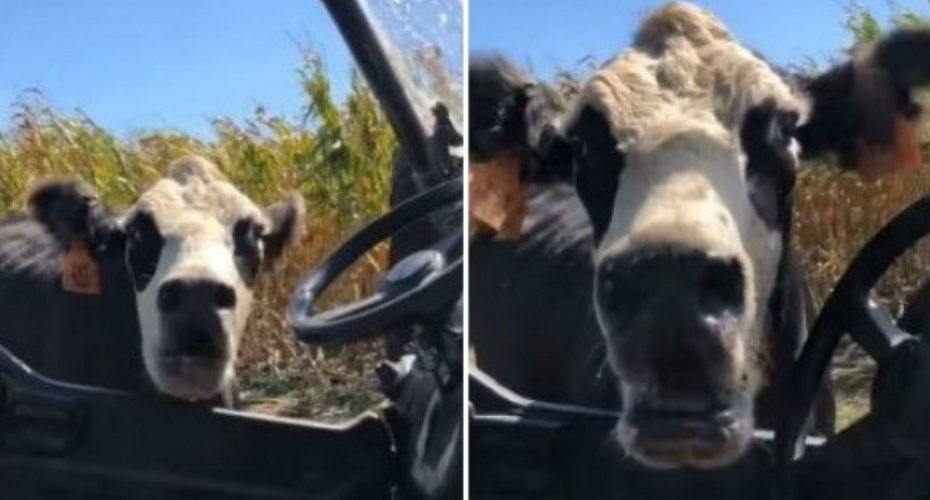 Farmer Frightened By Protective Mama Cow 9