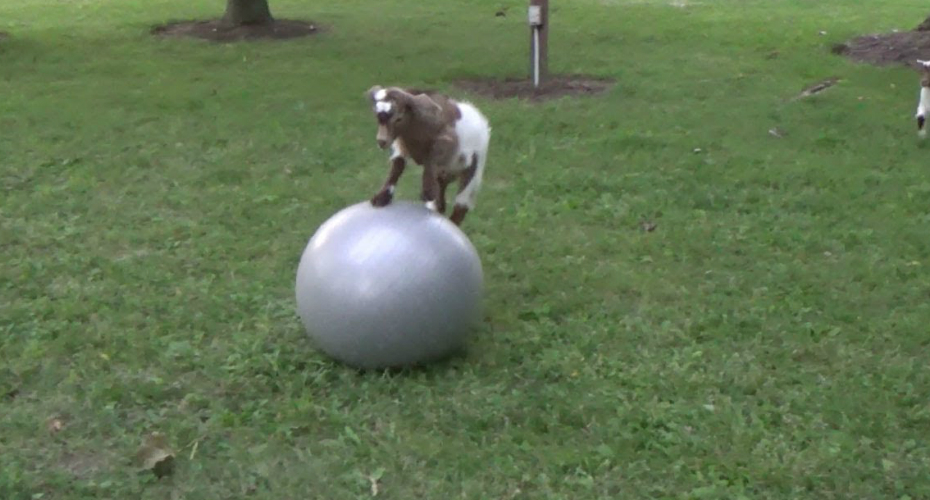 Baby Goat Loves Big Ball 6