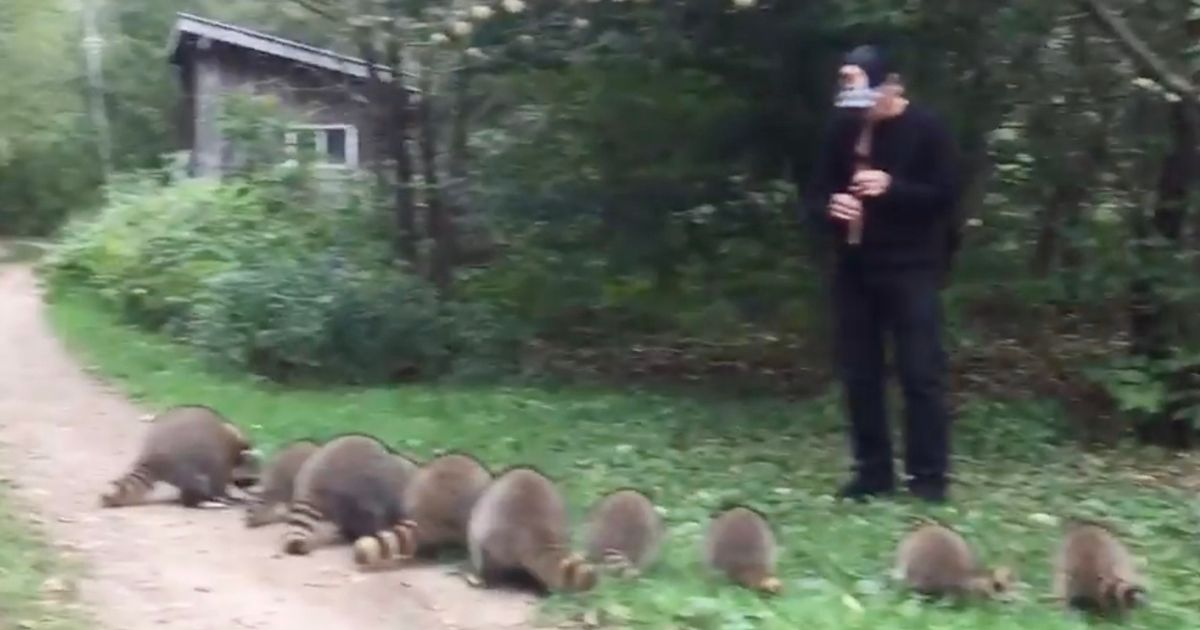 Man Charms Raccoons By Playing A Native American Flute 3