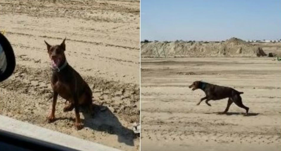 Incredible Moment In Which A Doberman Pinscher Follows With A Car That Goes 30 MPH 6