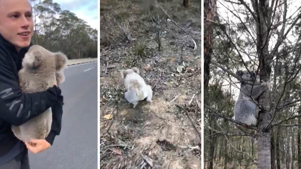 Motorists Rescued Daring Koala Stranded In Middle Of Road 5
