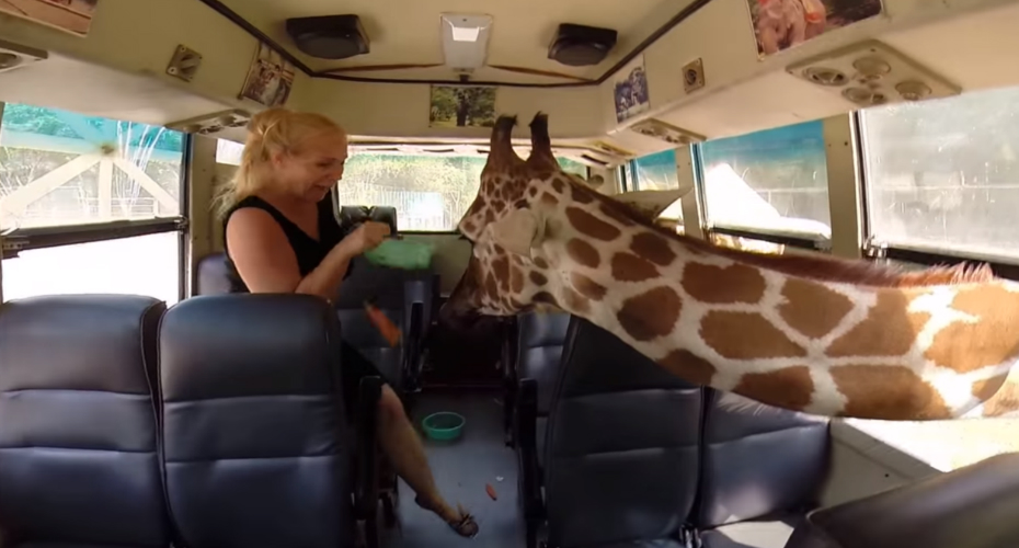 Tourists In Bus Attacked By Friendly Giraffes 7