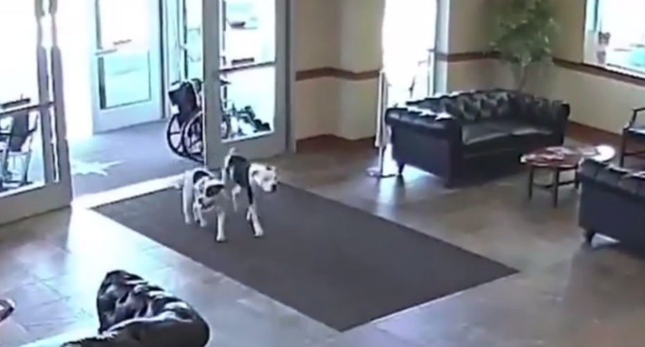 Two Friendly Pit Bulls Wander Into Hospital And Take Everyone By Surprise 3