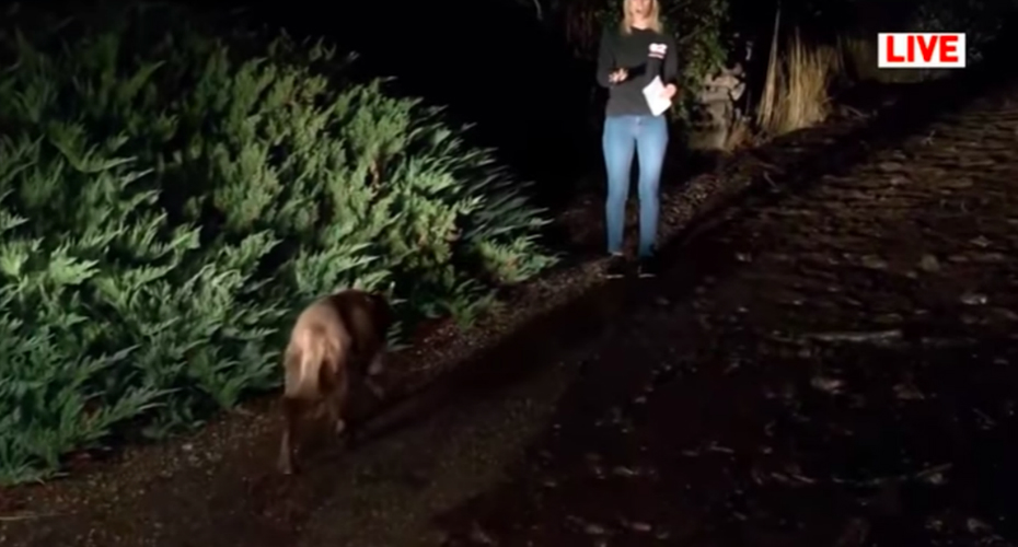 Reporter Ignores Wild Animal Wandering Into Live Shot 3