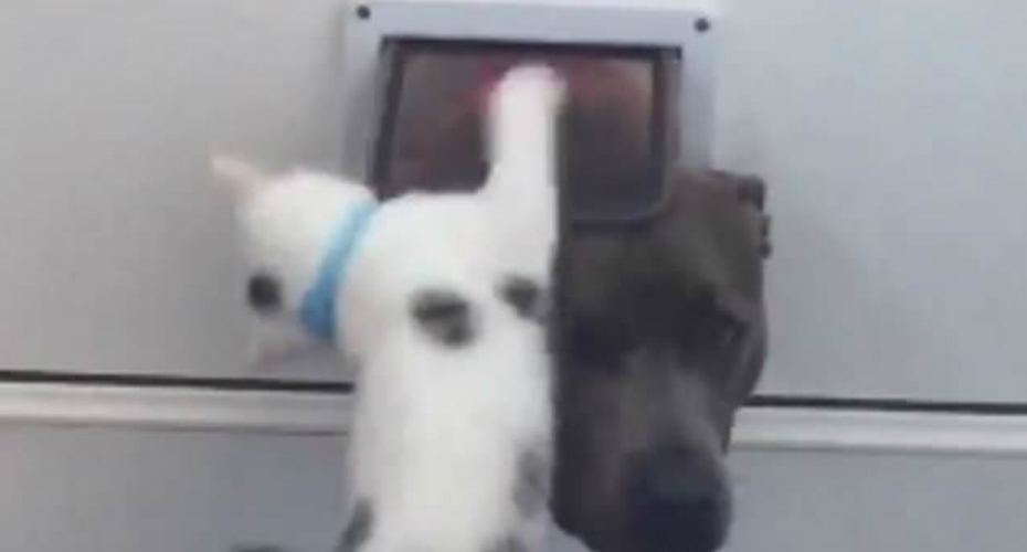 Playful Kitten Teaches Curious Dog Not Use Cat Flap 9