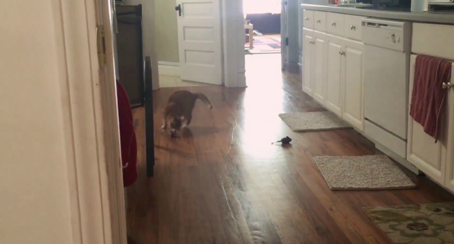 Blind Cat Plays Fetch Like a Pro 5