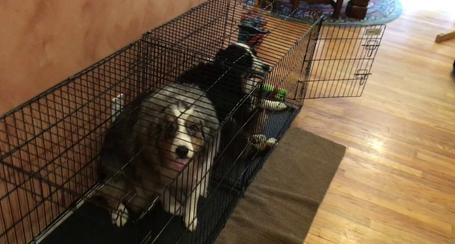 Australian Shepherds Are The Picture Of Guilt 2