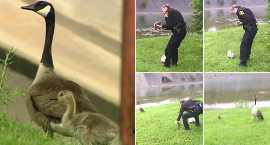 Clever Mother Goose Calls Cincinnati Police To Help Trapped Baby Bird 4