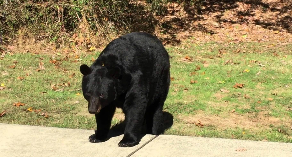 Obedient Black Bear Doesn't Want Any Trouble 4