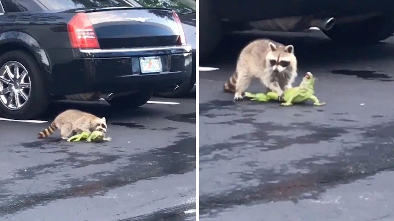 Bizarre Car Park Fight Breaks Out Between Raccoon And Iguana 8