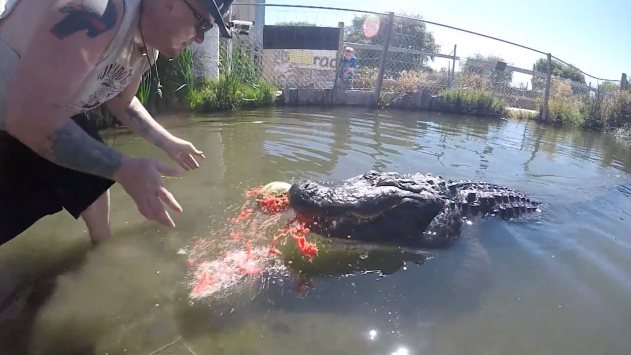 Close Up Footage Shows Gator Crush Watermelon 1