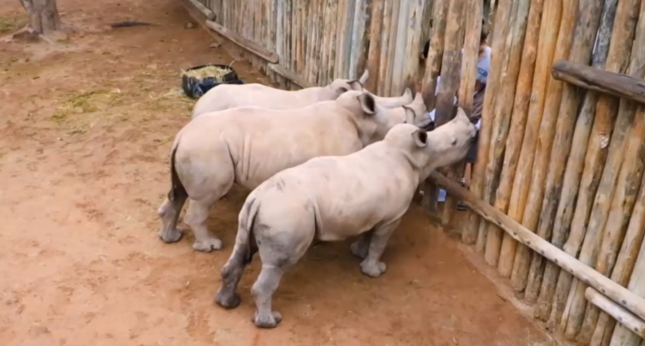 Orphaned Baby Rhinos Cry After Finishing Their Milk 4