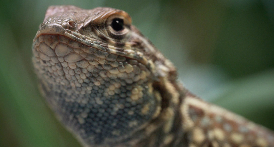 These Lizards Have Been Playing Rock-Paper-Scissors For 15 Million Years 4