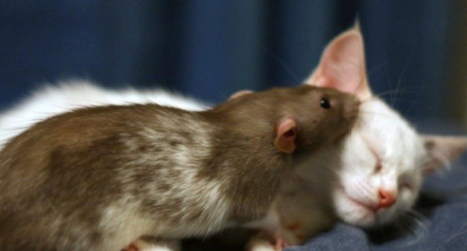 Rats Work As Nannies For Orphan Kittens At This New York Cat Cafe 6