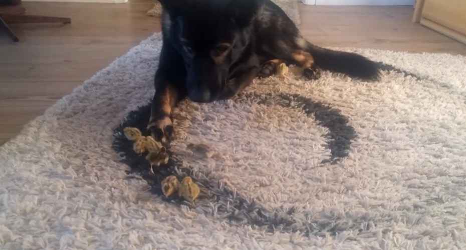 Affable German Shepherd Gently Watches Over A Bevy Of Baby Quails Crawling Around On A Shag Rug 1