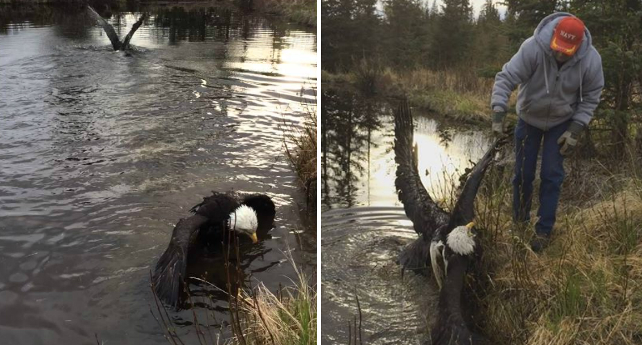 Man Frees Two Bald Eagles Stuck In a Death Lock After They Fall Into His Pond 8
