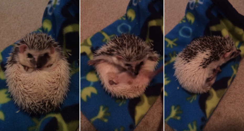 Hedgehog Adorably Struggles To Uncurl Himself 2