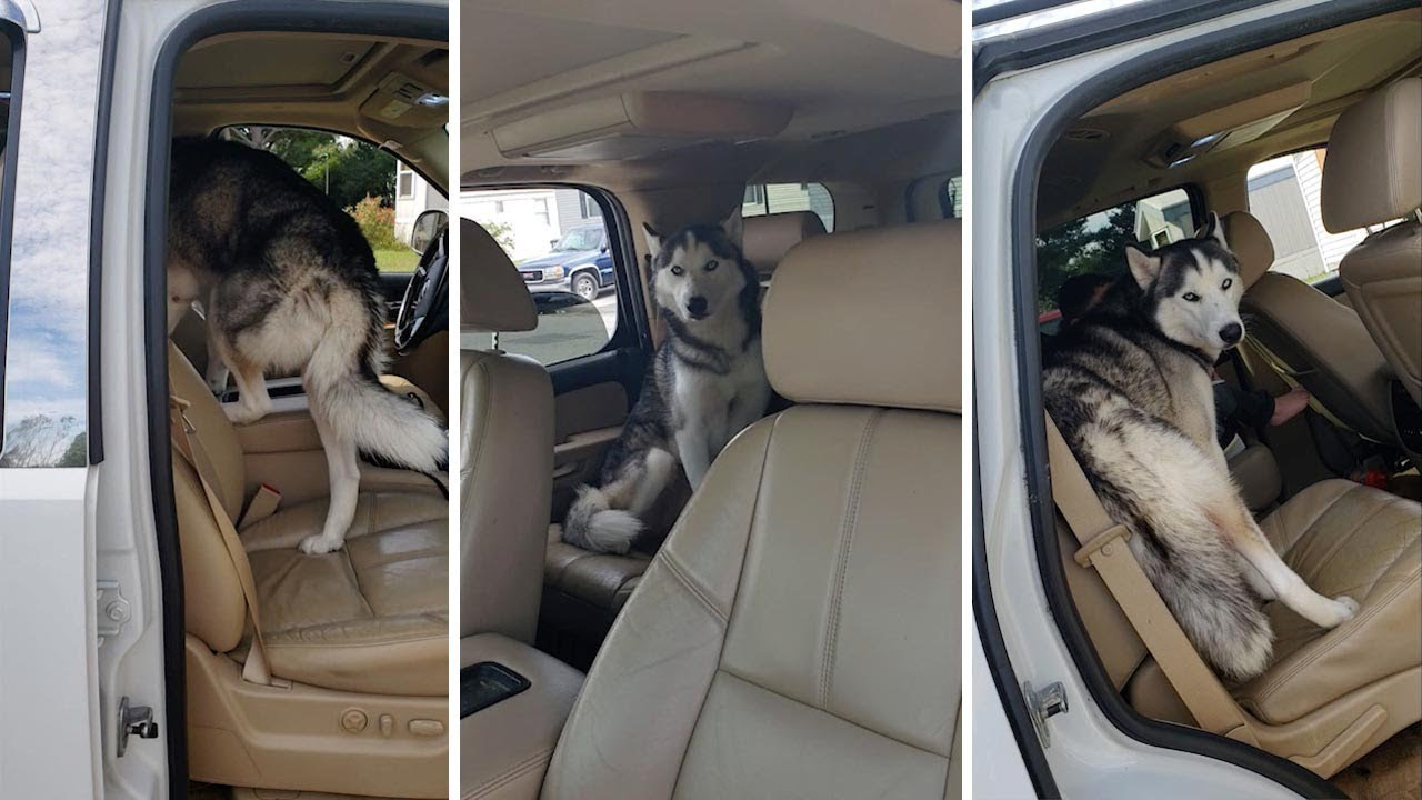 Stubborn Husky Refuses To Get Out Of Owner's Car 3