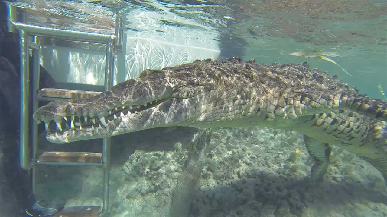 Diver Swims Up Close To Crocodile Underwater 6