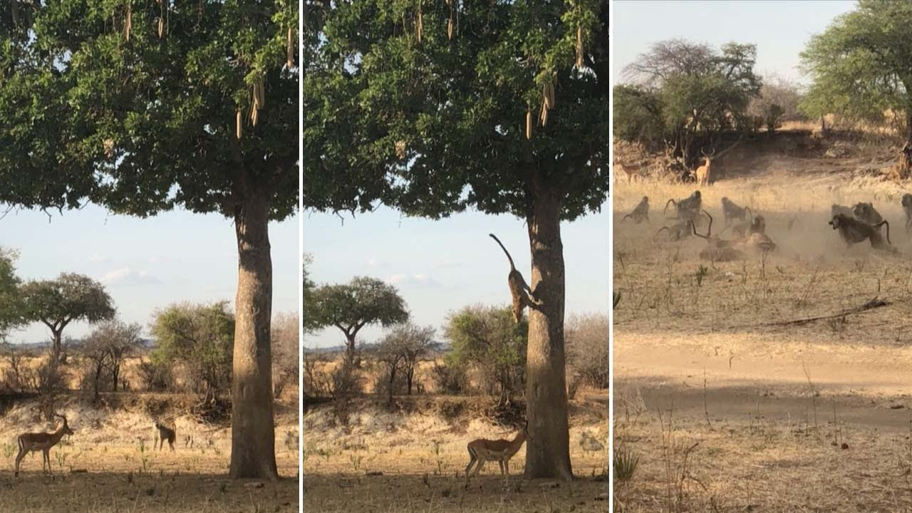 Leopard Leaps Out Of Tree To Catch Its Prey 3