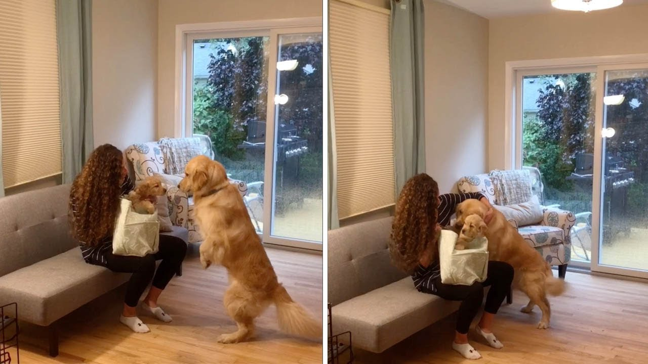Adorable Moment Golden Retriever Gets Surprised With Own Puppy 8