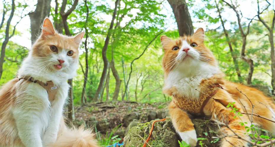 Japanese Cook Takes His Cats For A Lovely Walk In The Park 6