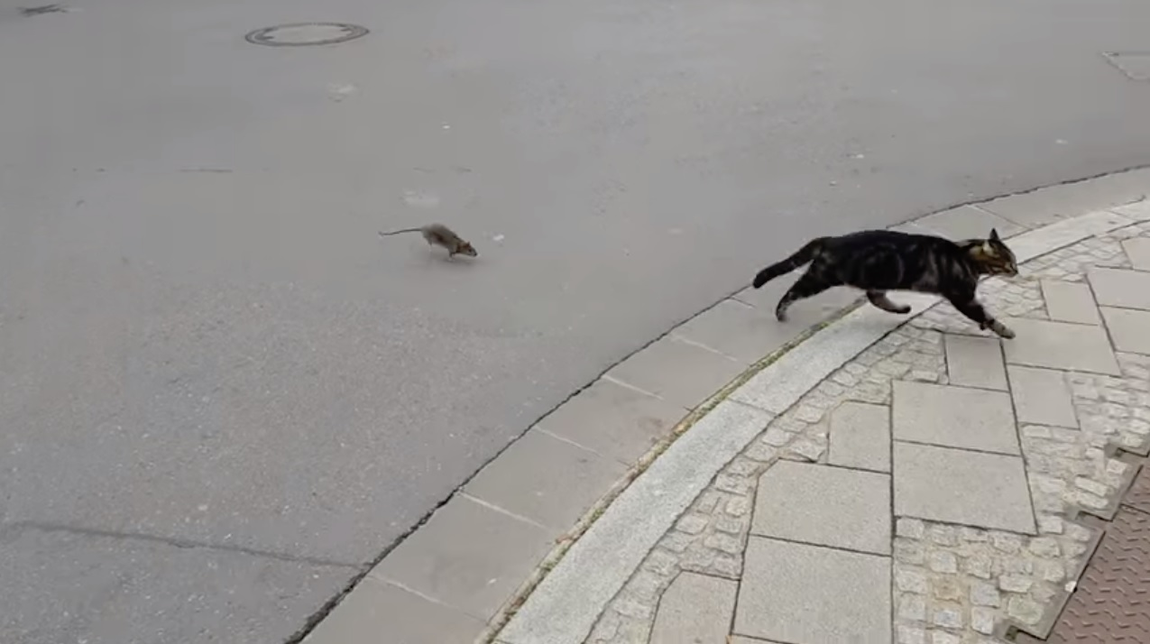 A Tough Little Street Rat Chases The Boldly Inquisitive Cat Who Started The Chase In The First Place 6