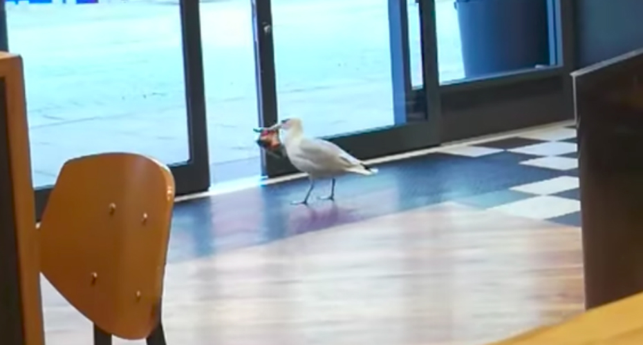 Brazen Seagull Strolls Into a Shop And Proceeds To Make Off With a Packet Of Crisps 3