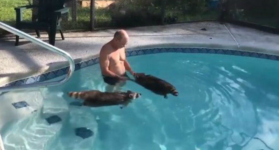 Florida Man Takes Pet Raccoons Into His Pool And Watches Them Swim 5
