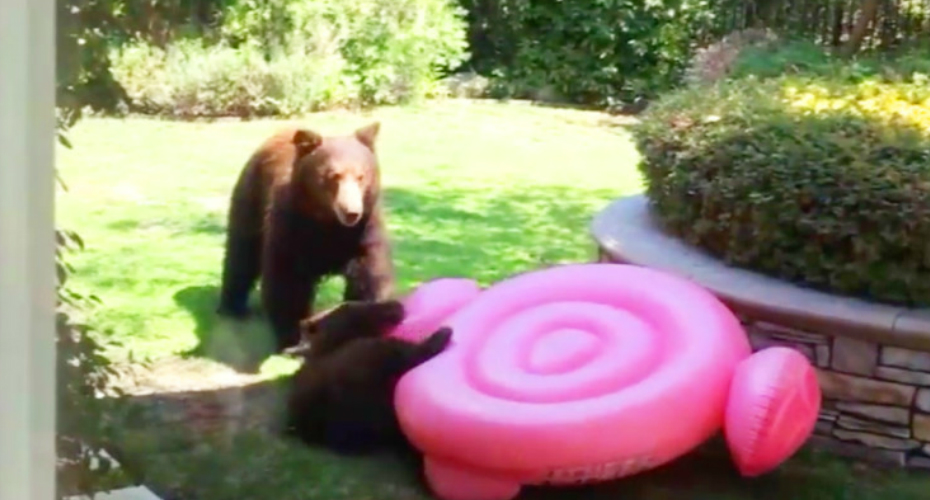Determined Bear Cub Wrestles Inflatable Flamingo in Arcadia backyard 4