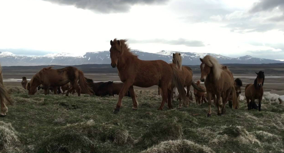 Friendly Icelandic Horses Surround Man In Field 2