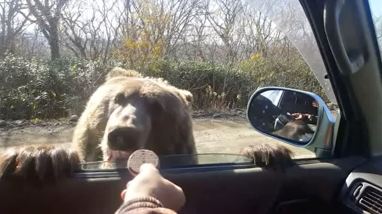 Driver Feeds Bear Cub Cookies From Car 3
