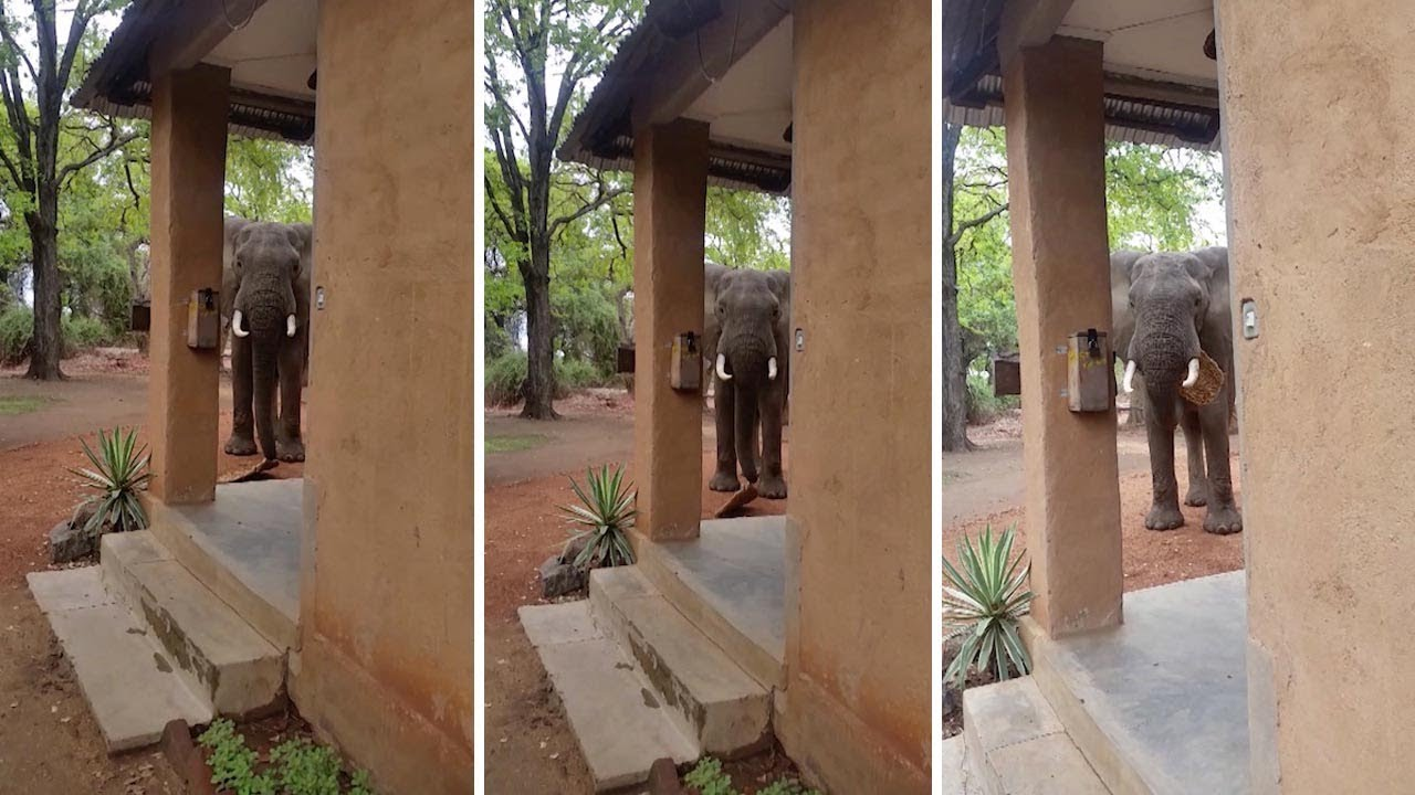 Naughty Elephant Caught Stealing Door Mat 3