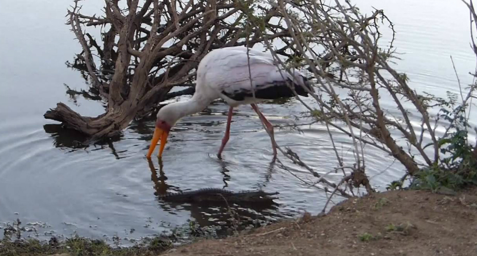 Stork Denies Crocodile In Spectacular Fashion 1