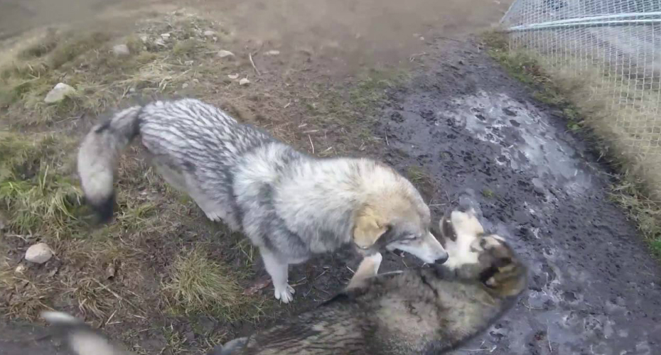 Wolf Dogs Welcome Their Owner With Excited Howls And Kisses 2