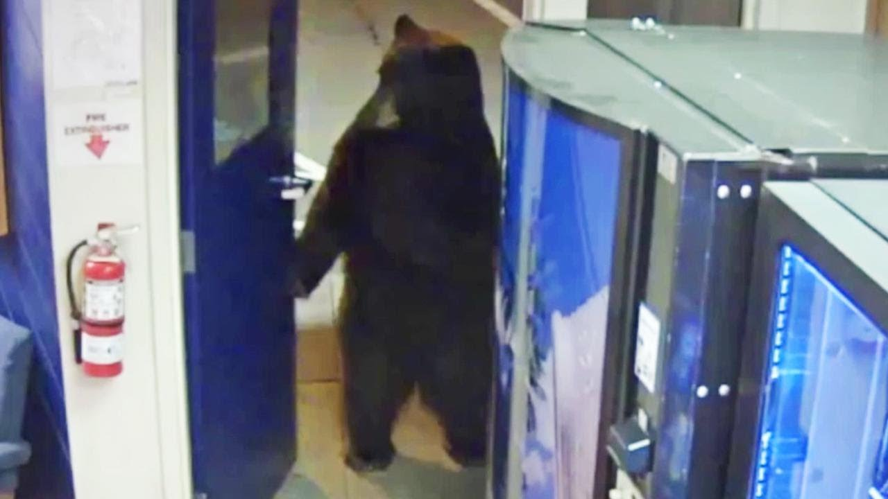 Bear Opens Door to California Police Facility and Walks Around Inside 1