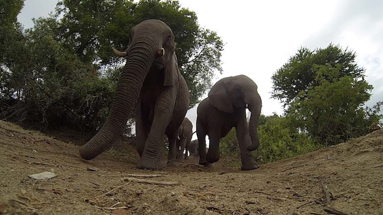Cheeky Elephants Walks Over Game Rangers' Camera 4