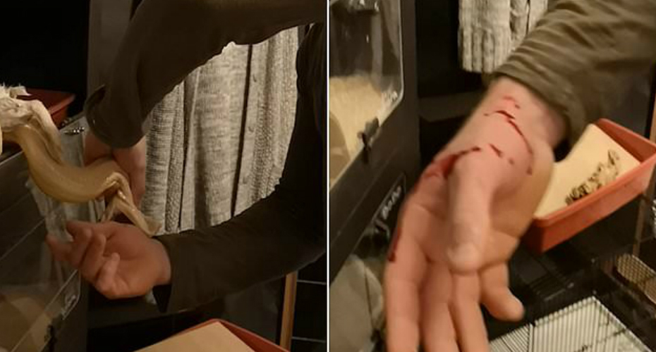 Snake Feeding Goes Horribly Wrong As Pet Boa Bites Into Owner's Hand 3