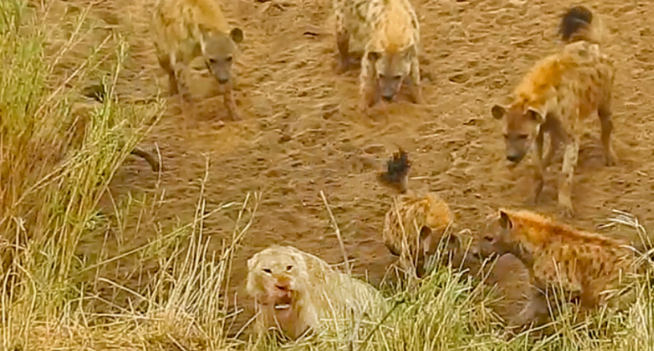 Lion Cornered By Hyenas Calls For Backup 9